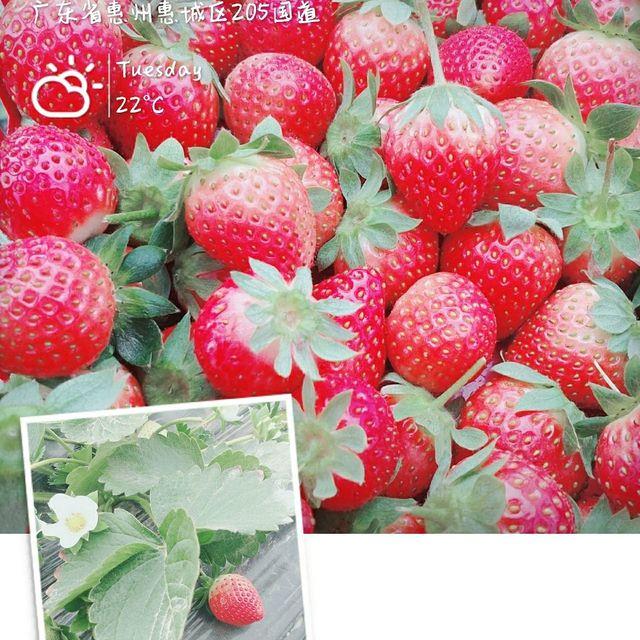 草莓,惠城区