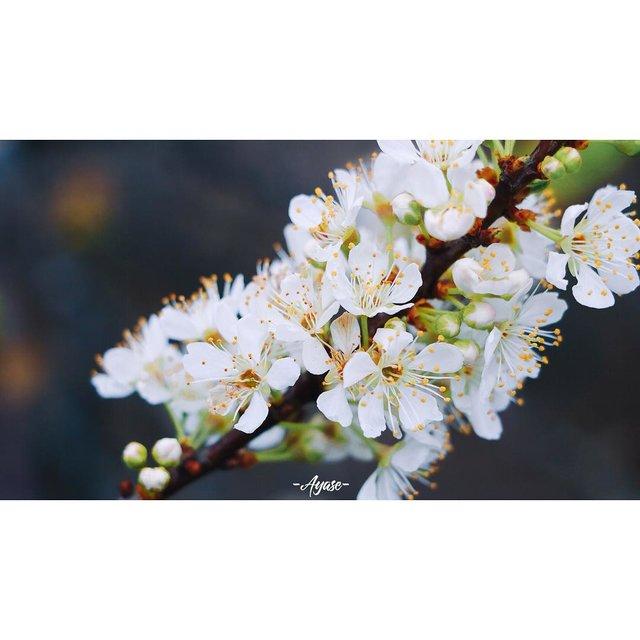 失眠症患者,未闻花名,植物,梨花,白