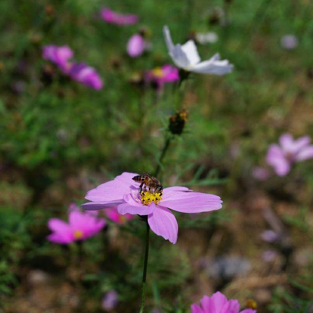 年初三,旅行是我的解药,未闻花名,喜欢请关注,蜜蜂采蜜