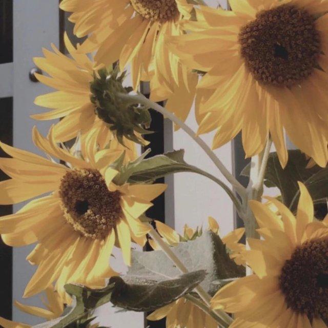 向阳花,向日葵